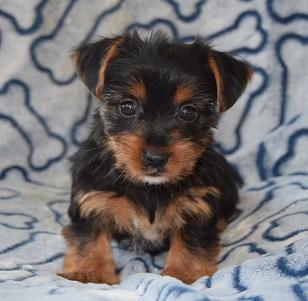 Yorkie Puppy For Sale Nj Zara Ridgewood Kennels Ii