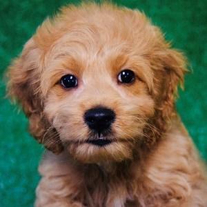 Cockalier puppy for Adoption