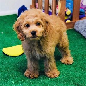 Cockalier puppy for Sale