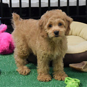 Doodle Cockalier puppy for sale in PA